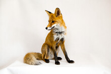 Red Ginger Fox Sits On A White...