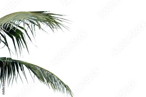 Fotografie, Obraz Coconut leaves on white isolated background for green foliage backdrop