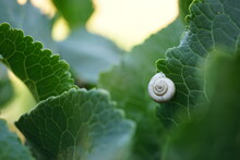 White Snail Shell On Green Horseradish Leaf In A Field. Side View. Selective Art Focus.