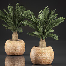 Cycas Isolated On Black Background