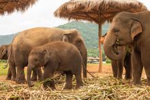 Elephant - Chaing Mai
