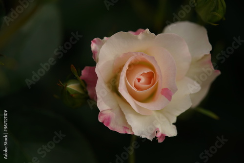 Photo Faint Pink and White Flower of Rose 'Matilda' in Full Bloom