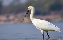 Eurasian Spoonbill Dropping Water Droplets