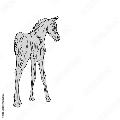Canvastavla isolated monochrome drawn image of an Arabian horse foal on a white background