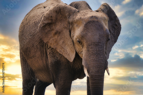 Fototapety, obrazy: Elephant and sunset, Chobe safari park, Africa