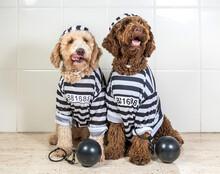 Bad Dogs Dressed As Prisoner J...
