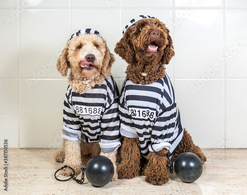 Photo Bad dogs dressed as prisoner jail house rock clothes, Spanish Water Dog