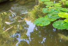 Lotus Leaves In A Botanical Ga...