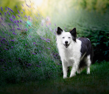 Dog Border Collie Annie