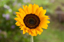 Helianthus Annuus - Beautiful ...