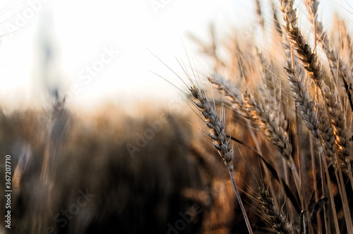 Abstract image of heads of wheat swaying in the wind Canvas-taulu