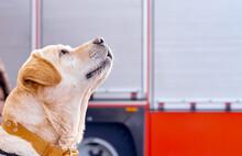 Dog Labrador Waits For Team Fr...