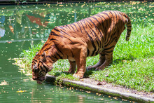 A Tiger Drinking Water From A River