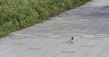 Japanese Wagtail On Concrete Sidewalk