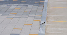 Japanese Wagtail Standing On Curb