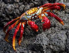 Red Crab On A Rock, Sally Ligh...