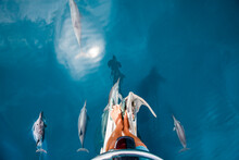 Dolphins On The Bow Of A Yacht