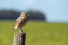 Little Owl Standing On A Post ...