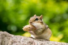 Chipmunk Having Peanuts