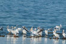 American White Pelican (Peleca...