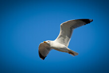 Proud Gull Flying On The Sky, ...