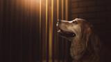 Fototapeta Kawa jest smaczna - (photo composite on 3D Rendering, illustration) hopeful golden retriever inside a dog pound cell.