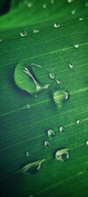 Green Banana Leaf With Water D...