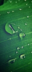 green banana leaf with water drops