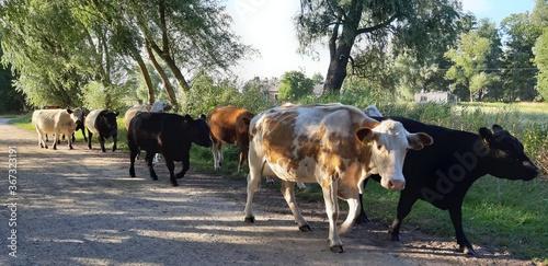 Krowy zwierzeta powrót stada z wypasu