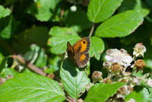 Gatekeeper Butterfly Perched On A Leaf In The Sun, UK