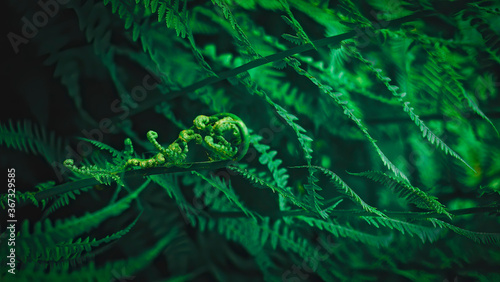 Fototapeta Close-up of dark green fern leaves with selected focus and blurred background.Young fern leaf. Fresh tropical foliage, abstract wallpaper. Deep green leaves,low-key photography obraz
