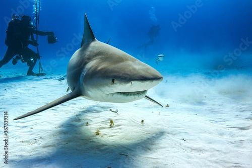 Obraz na plátně Bull shark in caribbean sea