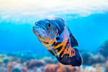 Astronotus Ocellatus Is A Popular Aquarium Fish In The Cichlid Family