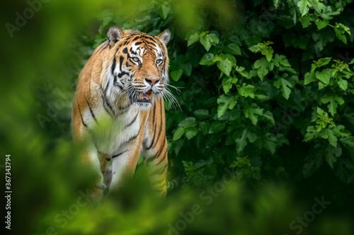 Obraz Tiger, wild animal in the natural habitat - fototapety do salonu
