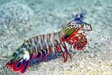 Mantis Shrimp In The Sea