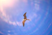 Frigate In Flight, Seabird Flies In The Blue Sky, Freedom