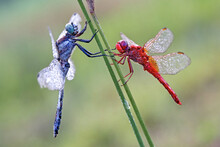 Eastern Blue Tail Dragonfly & ...