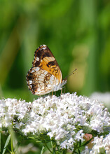A Silvery Checkerspot Butterfly, Chlosyne Nysteis, Rests On A Queen Anne's Lace Flower In Maryland
