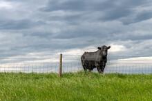 Cow Behind Farm Fence