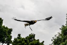 Stellars Sea Eagle, In Flight.