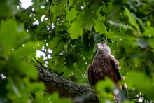 Red Kite, In A Tree.