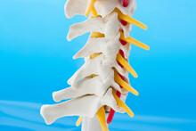 Model Of Cervical Spine With Cervical Vertebrae, Vertebral Artery, Spinal Cord On Blue Background, Lateral Posterior View