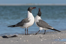 Laughing Gull Courtship