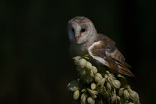 Cute And Beautiful Barn Owl (Tyto Alba) Onbeautiful White Flowers. Isolated On A Dark Background. Noord Brabant In The Netherlands.