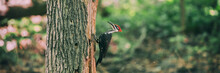 Pileated Woodpecker Whacking Dead Tree Trunk Searching For Bugs Eating In Holes In Wood Forest Banner Background. Male Bird One Of The Biggest Forest Birds In North America. Panoramic.