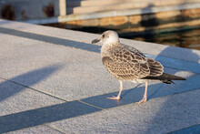 Grey Feathered Seagull Is Walking Along The Sea On The Pier On Daylight.