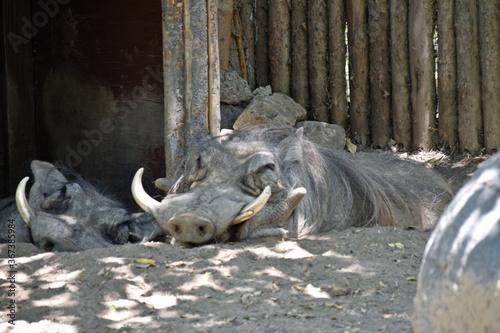Fotografía Slumbering Warthog