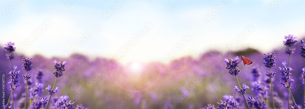 Fototapeta Beautiful sunlit lavender field, closeup. Banner design