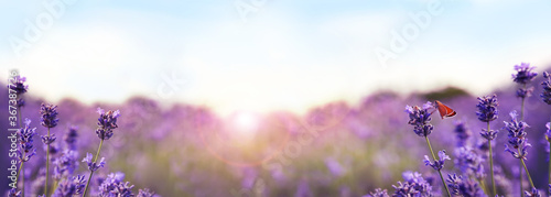 Fototapeta Beautiful sunlit lavender field, closeup. Banner design obraz