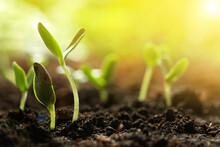 Sunlit Young Vegetable Plants ...